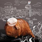 ркс, белое и пушистое жкх, календарь, морская свинка, пляж